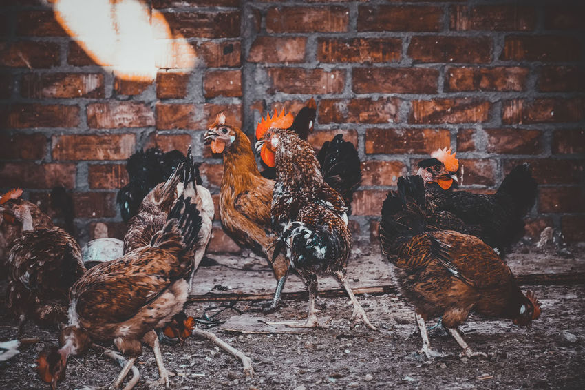 A Lot Of Birds Adapted To The City Animal Themes Architecture Brick Wall Built Structure Check This Out Chicken Cockerel Covey Day Domestic Animals Exceptional Photographs EyeEm Best Shots EyeEm Birds First Eyeem Photo Hen Indoors  Livestock No People Popular Photos Rooster Swarm The City Light The Great Outdoors - 2017 EyeEm Awards The Street Photographer - 2017 EyeEm Awards Pet Portraits