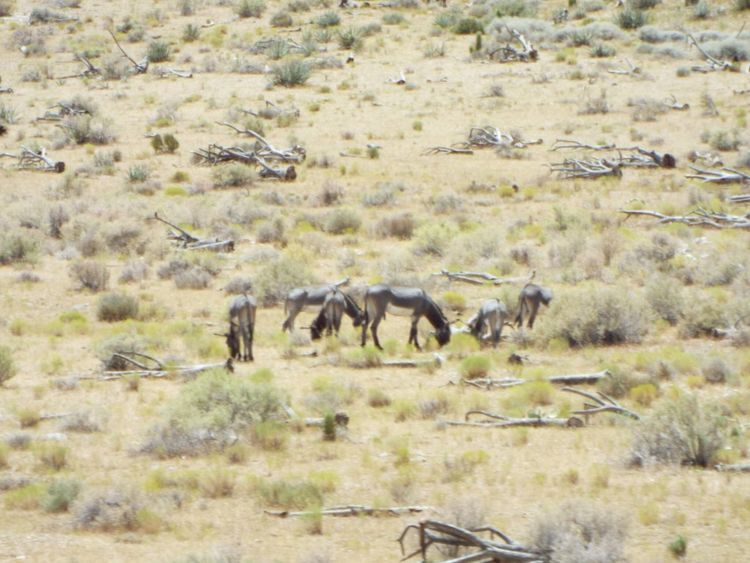 I found some Wild Burros in Valley Wells , California. Travelphotography Animal Photography Donkey Donkeys Donkeylove Donkey Animals Donkey Time Donkeysfamily California Love Mountain Range Outdoor Photography Outdoors❤ Animals Wildlife & Nature Wildlife Wild Wildlife Photography Wild Animal Wildlifephotography Wildlife Photos