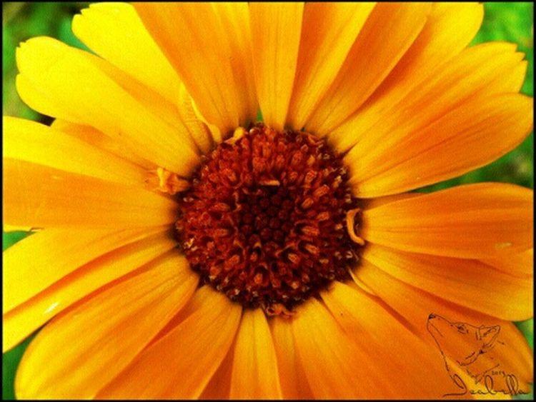 цветы оранжевый лепестки