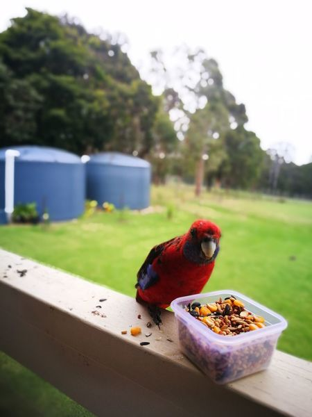 Bird Red Animal Wildlife One Animal No People Nature Animal Themes Animals In The Wild Food Outdoors Day Perching Close-up