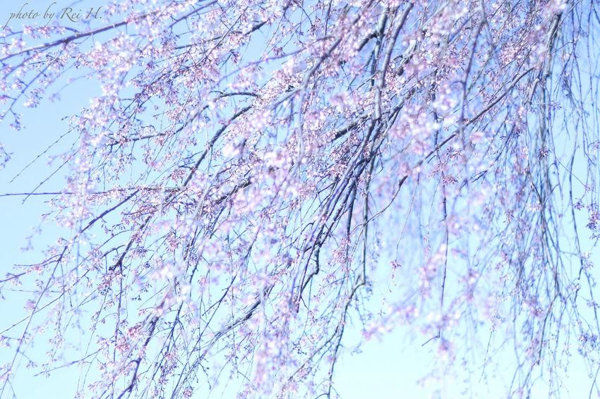 枝垂れ桜 3 ~ Weeping cherry Tree 3 ~ 桜 枝垂れ桜 花 単焦点 Cherryblossoms Weeping Cherry Tree Flowers Singlefocus 50mm Canon