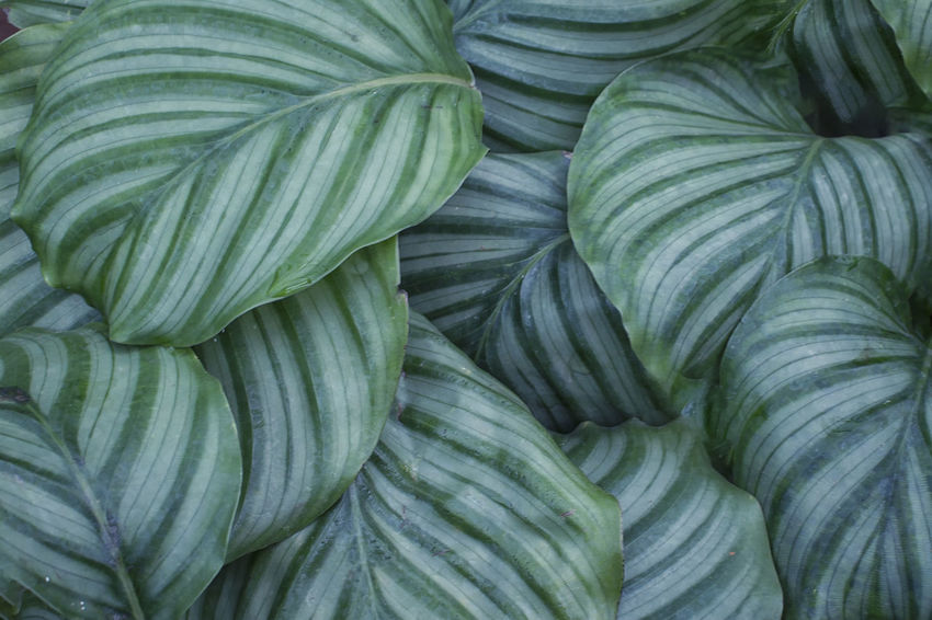 calathea orbifolia Green Color Leafs Abundance Backgrounds Calathea Day Freshness Green Color Heart Shape Large Group Of Objects Leaf No People Orbifolia Outdoors Pattern Plant Part Stack Stripes Pattern Texture Vegetable