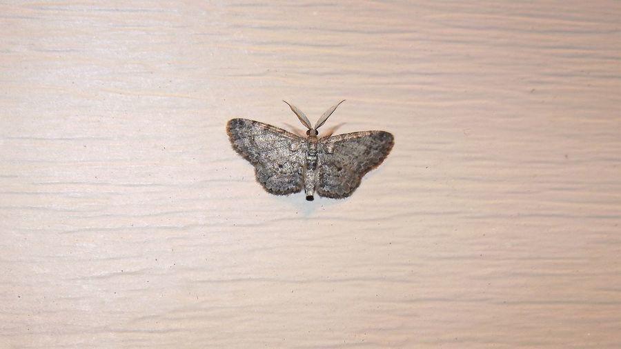 #TribeBoarmiini #nature #insect #moth # #bug #wildlife #entomologylepidoptera #nightshot Close-up Outdoors