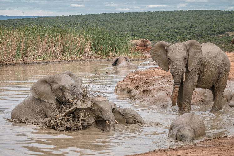 View of elephant drinking water in lake
