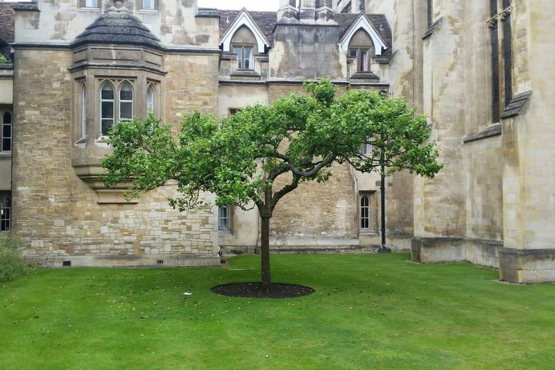 Sir Isaac Newton's apple tree at Trinity College, Cambridge Isaac Newton Tree Historic Plant Trinity College