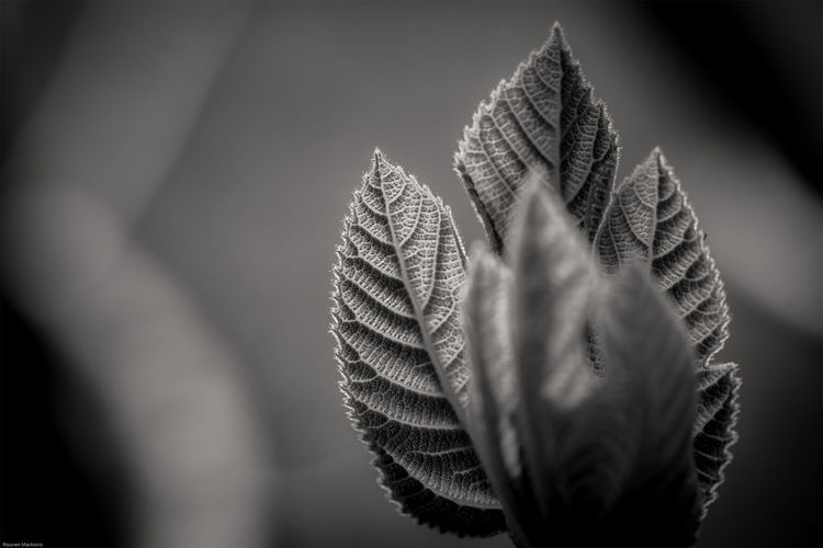 A fig leaf i shot today in our garden Backlit Beauty In Nature Blackandwhite Bokeh Close-up Day Detail Eye4photography  EyeEm EyeEm Best Shots EyeEm Nature Lover Focus On Foreground Fragility Garden Growth Natural Pattern Nature Outdoors Petal Plant Selective Focus Sky Sunset Taking Photos Walking Around