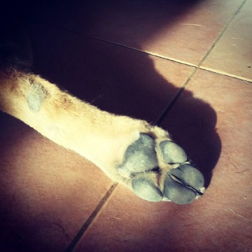 Toe Sheba! Dogs Paws Pawsinthesun Dogpaws instapets petstagram dogstagram doggies dogoftheday instadog