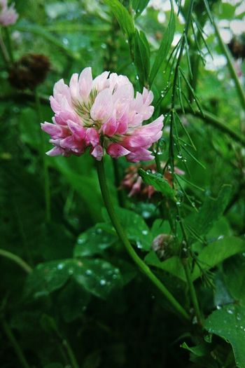 Flower Pink Color Nature Plant No People Beauty In Nature Day Outdoors Fragility Close-up Leaf Water Flower Head Freshness