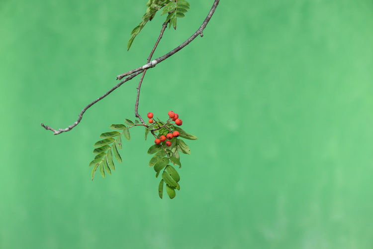 Green Color Turquoise Colored Nature Minimalism Close-up Growth Freshness Focus On Foreground Fragility Rowanberry Branch Red Berries Copy Space Flowering Plant Beauty In Nature Red Plant Part Poisonous Backgrounds