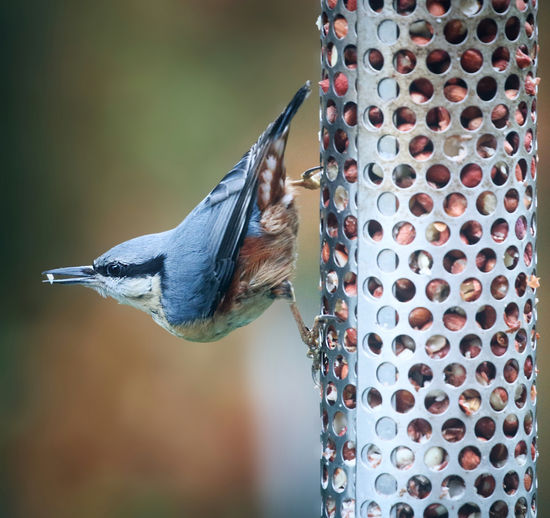 Nuthatch about to leave a bird feeder after grabbing food. Bird Animal Wildlife Animals In The Wild One Animal Focus On Foreground Vertebrate Bird Feeder Close-up No People Day Perching Nature Food Outdoors Food And Drink Woodpecker Metal