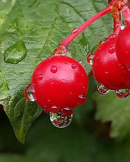 Red Viburnum калина красная Природа Nature Berry