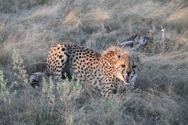 Aggressive cheetah