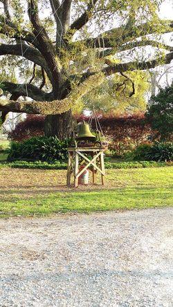 Southern Bell Southern Belle Live Oak Ancestors