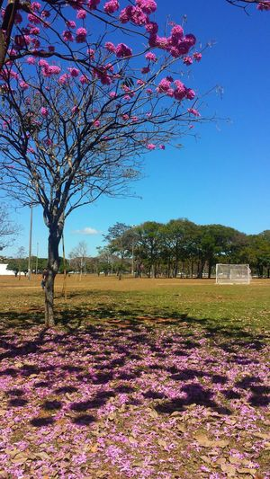 Flower Tree Beauty In Nature Iperosa Fragility Day Flowering Plant Tabebuia Rosea Nature No People Ipê Tree From Brazil Urban Nature Shadow Blue Sky