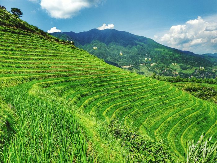 Rice Field Tea Crop Mountain Tree Beauty Agriculture Terraced Field Social Issues Field Rice Paddy Forest Cultivated Land Rice - Cereal Plant Farmland Agricultural Field Plantation
