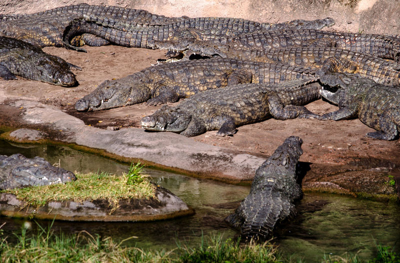 Pile of alligators in florida usa