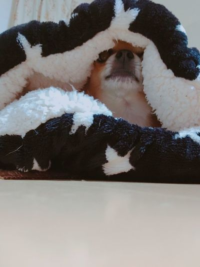 Mammal One Animal Domestic Animals Indoors  Stuffed Toy No People Animal Themes Pets Snow Cold Temperature Close-up Winter Day Nature Niko Family Chihuahua
