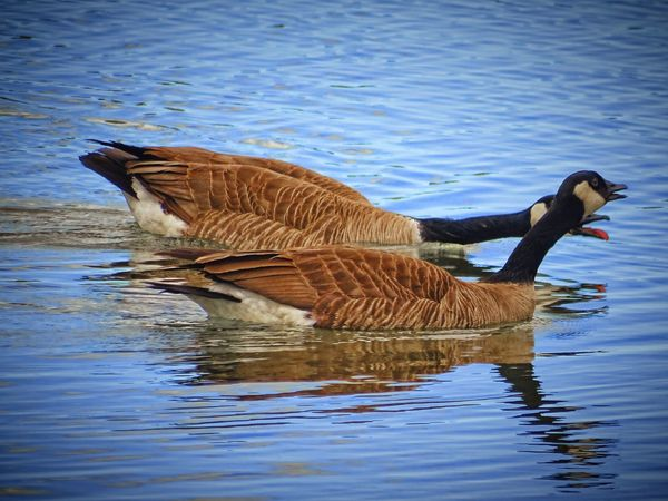 Animals In The Wild Water Nature Animal Themes Animal Wildlife Swimming Reflection No People Lake Outdoors Day Beauty In Nature Bird Worland WY Wyoming Nature Beak Animals In The Wild Two Animals Canada Geese Tounge Out