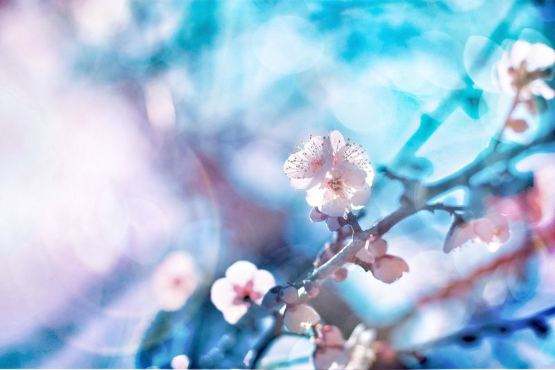 Flower Nature Growth Beauty In Nature Fragility Blossom Tree Springtime Freshness Botany Close-up Twig Branch No People Outdoors Cherry Blossom Plum Blossom Sky Day Flower Head