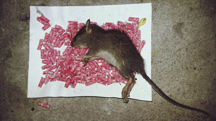 life is brutal One Animal Animal Themes Close-up Mouse Death Yolo Basment