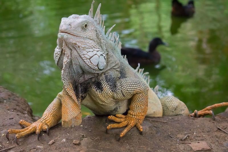 Iguana y lago Animales Iguana Natural Agua Anfibio Animal Themes Animal Wildlife Animals In The Wild Close-up Day Lago Naturaleza Nature One Animal Reptil Reptile