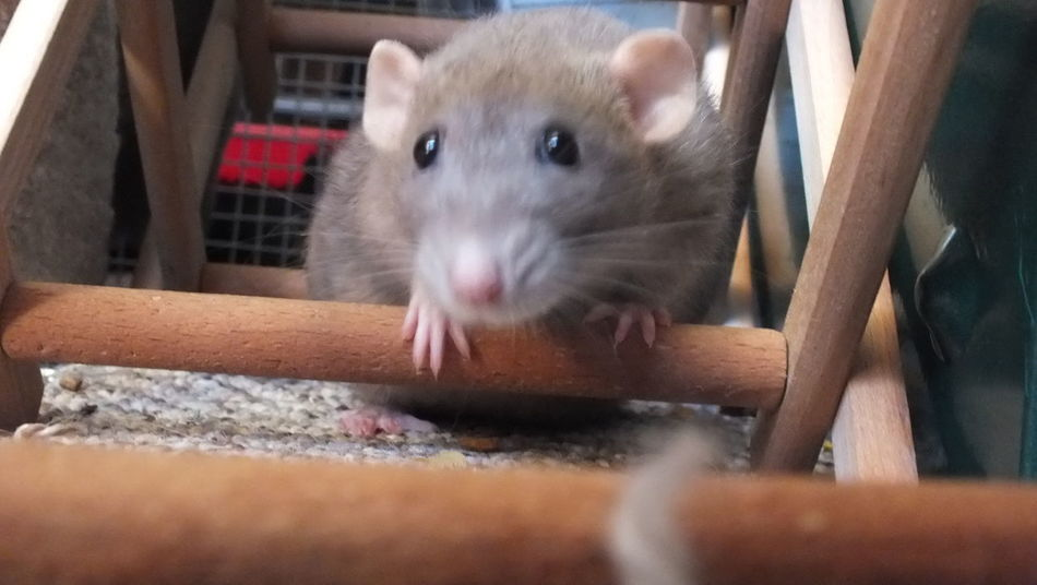 blue dumbo rat - domestic Animal Animal Themes Close-up Domestic Indoors  Looking At Camera No People One Animal Pets Rat Rodent Whisker