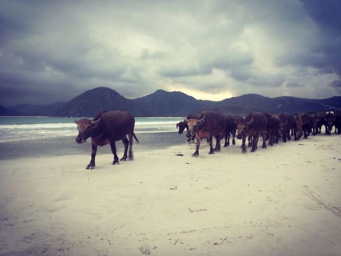 Kuta Lombok, Indonesia Buffalo Buffalo On The Beach Indonesia_photography