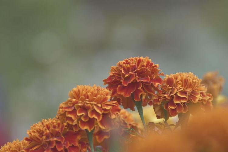 Flower Nature Beauty In Nature Close-up Hokkaido,Japan D5600 Nikon Nikonphotography