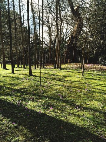 Nearly Spring Crocuses Narcissus Nature Beauty Everywhere Woods Savill Gardens Tree