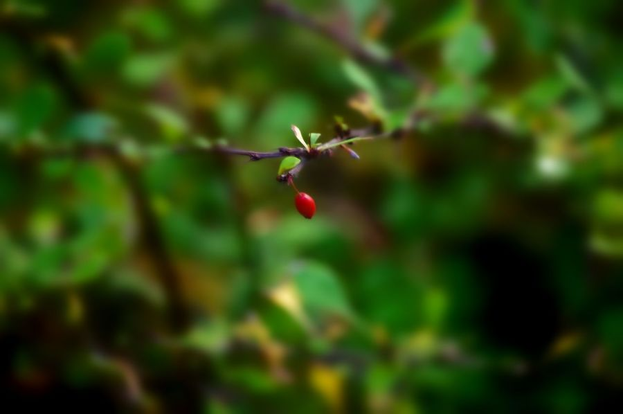 Red Nature Leaf Green Color Plant No People Outdoors Growth Close-up Beauty In Nature Branch Freshness Nature On Your Doorstep Uncultivated Red Berries Selective Focus