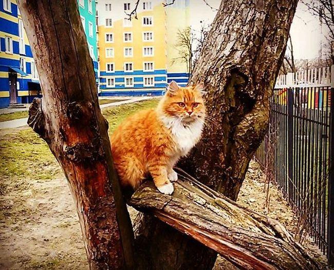 я не толстый, я из Калиниграда кот дерево калининград Россия яотбабушкиушел живутжекоты