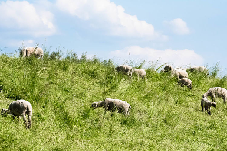 View of sheep grazing in field