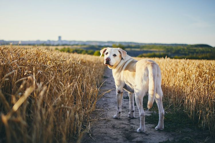 Portrait of labrador retriever standing on agricultural field