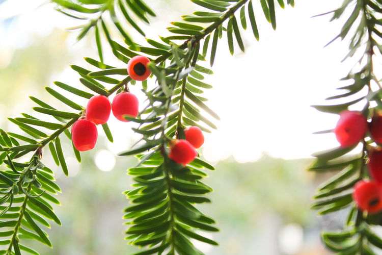 Beauty In Nature Close-up Day Green Color Growth Leaf Nature Outdoors Red Sky Taxus Taxus Baccata Tree