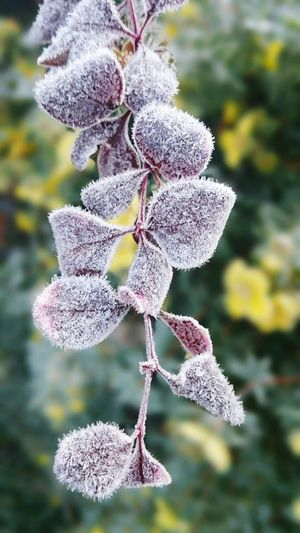Ice Frosted Floweer Beautiful Cold Day Frosty Morning Wintertime ⛄