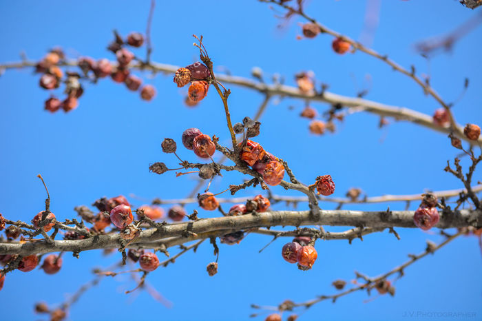 Beauty In Nature Branch Clear Sky Close-up Cold Day Dry Fruits Fragility Growth Limoilou Low Angle View Nature No People Outdoors Red Fruits Sky Tree Winter