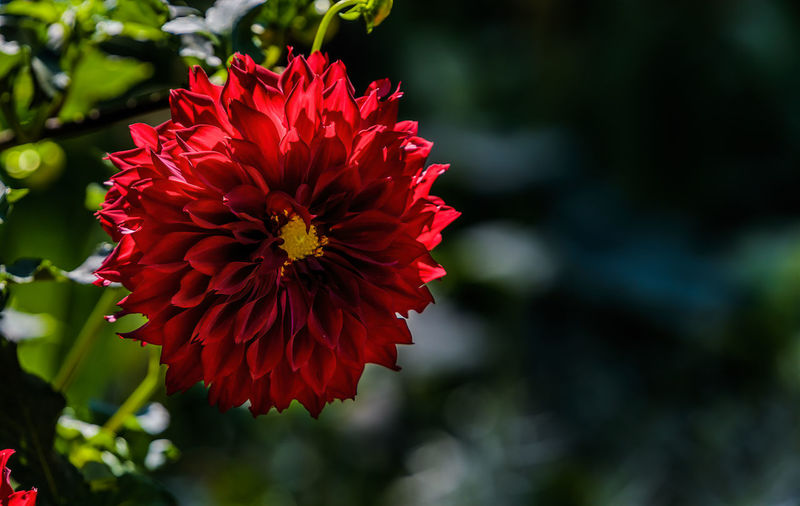 Bright Dahlia