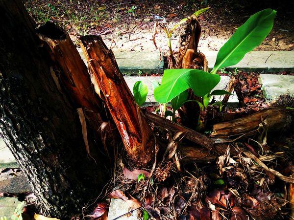 Sapling Sapling Tree Banana Tree Nature Leaf Tree Green Color