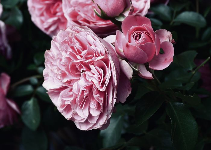 ornamental rose flower Copy Space Green Adore Backgrounds Beauty In Nature Bush Close-up Flower Flower Head Flowering Plant Focus On Foreground Fragility Freshness Garden Growth Inflorescence Leaf Nature Ornamental Garden Petal Pink Color Plant Part Rosé Rose - Flower Vulnerability
