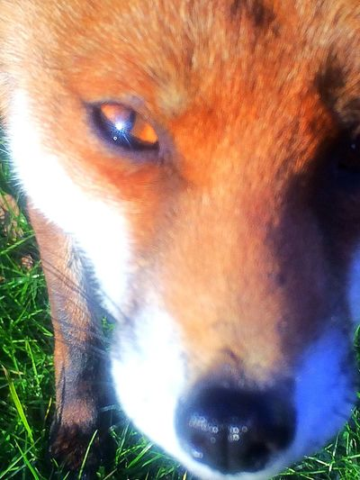 Urban Redfox Fox Pets Domestic Animals One Animal Animal Themes Dog Mammal Portrait Looking At Camera Close-up Outdoors No People Day