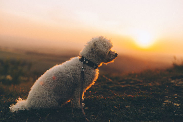 Dog looking away on field during sunset