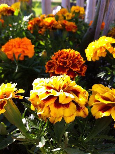 Flowers Yellow The Minimals (less Edit Juxt Photography) Marigolds