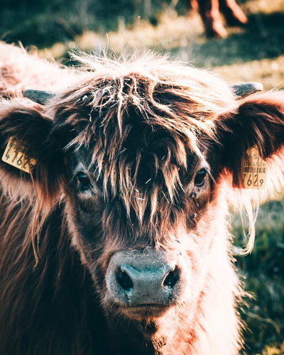 Cute Young Highland Cattle Animal Body Part Animal Hair Animal Nose Brown Cattle Close-up Cow Cute Domestic Animals Domestic Cattle Extreme Close Up Focus On Foreground Hairy  Herbivorous Highland Cattle Horse Livestock Mammal Mane One Animal Outdoors Part Of Snout Zoology