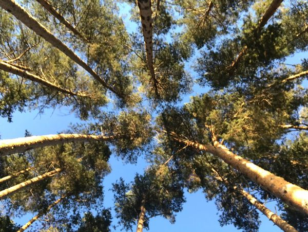 Tree Plant Low Angle View Growth Sky Beauty In Nature Tranquility Forest Tranquil Scene Clear Sky Tall - High