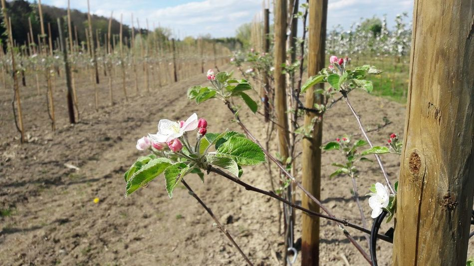 🍎🍏Agriculture Fruitplantation Plantation Monoculture Fruit Trees Farming Fruit Tree Blossoms Trees In A Row No People Pesticides Kill Bees Pesticides Springtime Nature Outdoors Blossoms  Toxic To Bees Growth Day Sky Apple Trees In A Row Apple Trees  Rural Scene