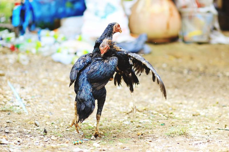 Bird Animal Themes Focus On Foreground Field One Animal Day Outdoors Nature No People Domestic Animals Full Length Close-up Chickens Chicken - Bird Fighting Fighters Fighting Chickens Practice Photography Practice Time