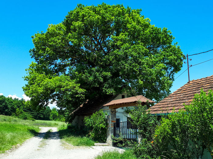 Tree by building against clear blue sky