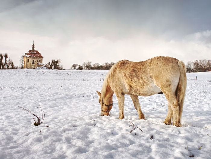 View of sheep on snow covered field against sky