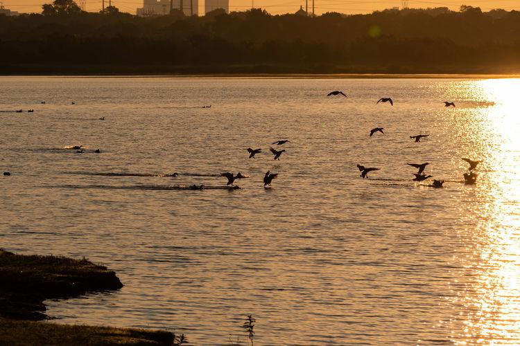Birds flying over lake during sunset