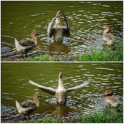 Дирижер Россия Москва птицы гуси Birds Goose